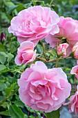 Rosa 'Pink Tiara'