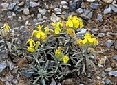 Endemic mustard (Degenia velebitica)