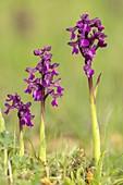 Green-winged orchid (Anacamptis morio)