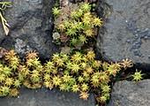 Common liverwort (Marchantia polymorpha)