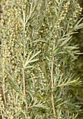 Common wormwood (Artemisia absinthium)