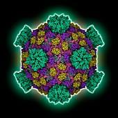 Reovirus capsid, molecular model