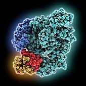 SARS-CoV-2 RNA polymerase complex, molecular model