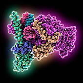 COVID-19 RNA polymerase complex, molecular model