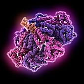 Adeno-associated virus 2 DNA complex, molecular model