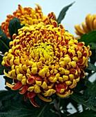 Incurve Chrysanthemum sp. flowers