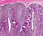 Glandular stomach of a chicken, light micrograph