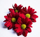 Chrysanthemum 'Barolo' flowers