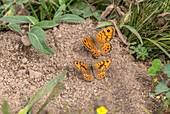 Wall brown butterflies
