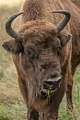 Female European bison