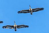 Dalmatian pelicans in flight