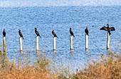 Common cormorants