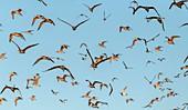Flock of dowitchers (Limnodromus sp.)