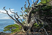 Monterey cypress (Hesperocyparis macrocarpa) trees