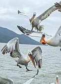 Dalmatian pelicans feeding