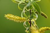 Crack willow (Salix fragilis) male catkins