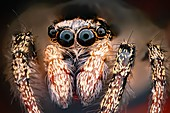 Jumping spider, macrophotograph