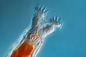 Philodina rotifer, light micrograph