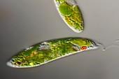 Euglena gracilis protozoan algae, light micrograph