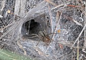 Female labyrinth spider