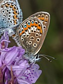 Mating pair of silver-studded blue butterflies