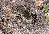 Female green-eyed flower bee
