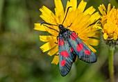 Five-spot burnet moth