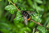 Bumblebee hoverfly