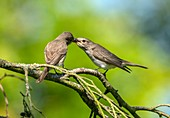 Male and female spotted flycatchers