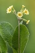 False oxlip ('Primula x polyantha')