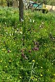 Snake's head fritillaries (Fritillaria meleagris)