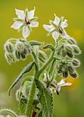 White borage (Borago officinalis)