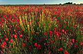 Field of poppies (Papaver rhoeas)