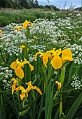 Yellow flag iris and hemlock water dropwort flowers
