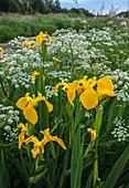 Yellow flag iris and hemlock water dropwort flowers