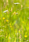 Corky-fruited water-dropwort (Oenanthe pimpinelloides)