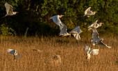 Cattle egret flock in flight