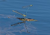 Mating pair of white-legged damselflies