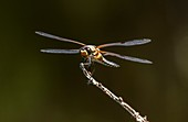 Adult four-spotted chaser