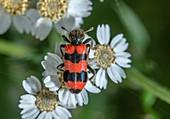 Bee-eating beetle