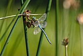 Male emperor dragonfly