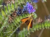 Lulworth skipper male feeding on viper's bugloss
