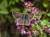 Male brown argus butterfly (Aricia agestis)
