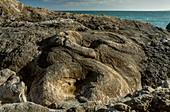 Fossil forest, Lulworth Cove, Dorset, UK