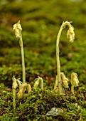 Yellow bird's-nest (Hypopitys monotropa)