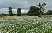 Poppy (Papaver somniferum) being grown as crop, in Dorset, England, UK.