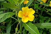 Water-primrose (Ludwigia peploides ssp. Montevidensis)]