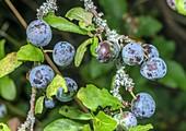 Ripe sloes (Prunus spinosa)