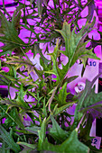 Mizuna mustard leaves grown on the ISS