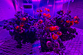 Tomato plants growing under red and blue lights